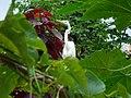 Garza en el patio de mi casa, Hatillo, Puerto Rico - panoramio.jpg