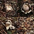 Geastrum coronatum Pers 711777.jpg