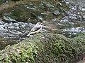 Gebirgsstelze (Motacilla cinerea), 2019.jpg