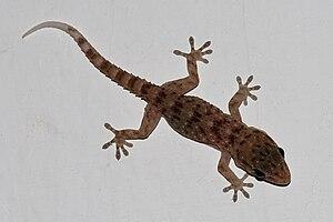 Gomero wall gecko - Image: Gecko de la Gomera (Tarentola gomerensis)