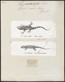 Gecko scaber - 1700-1880 - Print - Iconographia Zoologica - Special Collections University of Amsterdam - UBA01 IZ12300059.tif
