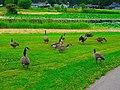 Geese - panoramio (15).jpg