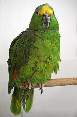 Gelbscheitelamazone (Amazona ochrocephala ochrocephala)