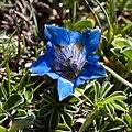 Gentiana acaulis-4573 - Flickr - Ragnhild & Neil Crawford.jpg