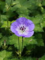 Geranium wallichianum 'Buxton's Blue' 03.JPG