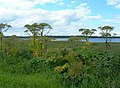 Giant Hogweed at Findhorn Bay - geograph.org.uk - 518090.jpg