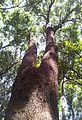 Giant Rooi-els - Cunonia capensis - CT 1.jpg