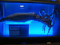 Giant squid display at Kelly Tarltons Underwater World.jpg