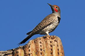 Description de l'image Gilded Flicker (Colaptes chrysoides) on top of cactus.jpg.