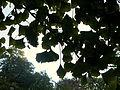 Ginkgo biloba (4).JPG
