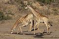 Giraffe, Giraffa camelopardalis at Mahone Loop, Punda Maria, Kruger National Park, South Africa (20632251670).jpg