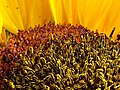 Girasol (Helianthus annuus) - Flickr - Alejandro Bayer (18).jpg