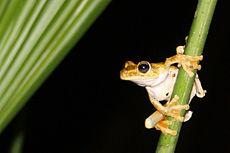Gladiator frog Osa