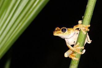 Tree frog - Gladiator tree frog (Hypsiboas rosenbergi), Osa Peninsula, Costa Rica