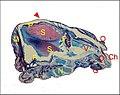 Glandes Scytodes 1.jpg