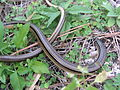 Glass Lizard (2), NPSPhoto (9255037117).jpg