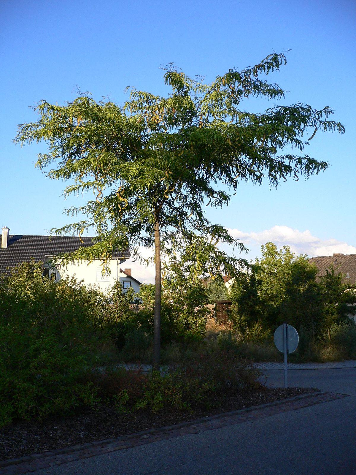Amerikanische Gleditschie – Wikipedia