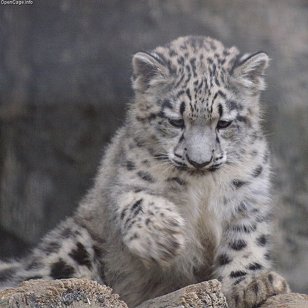 Description gloomy snow leopard cub jpg