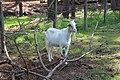 Goat, General Coffee State Park.jpg