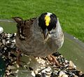 Golden-Crowned Sparrow (130569504).jpg