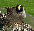 Golden-Crowned Sparrow (130569504).jpg