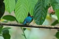 Golden-naped Tanager 2015-06-07 (12) (38508223560).jpg