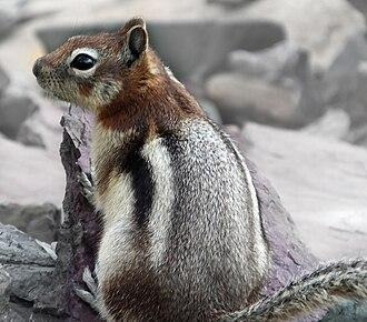 Golden-mantled ground squirrel - Image: Golden Mantled Ground Squirrel