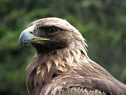 Golden Eagle (Aquila chrysaetos) head.jpg