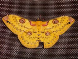 Golden Emperor moth.JPG
