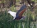 Goliath Heron RWD2.jpg