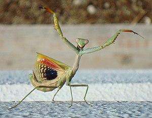 Anti-predator adaptation - A Mediterranean mantis, Iris oratoria, attempting to startle a predator