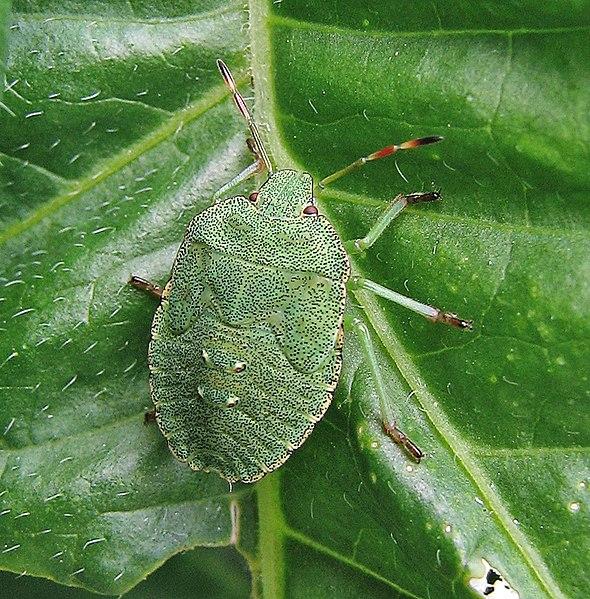 File:Grüne Stinkwanze (Palomena prasina) Larve 1.jpg
