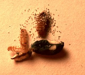 English: The larva of A.verbasci , frass, cast...