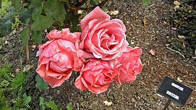 Grandiflora - Montezuma 7 (cr).JPG