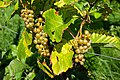Grapes in Chateaux Luna vineyard 5.jpg
