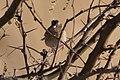 Grasshopper Sparrow Curly Horse Ranch Rd Sonoita AZ 2018-01-26 09-09-34 (39226218394).jpg