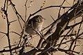 Grasshopper Sparrow Curly Horse Ranch Rd Sonoita AZ 2018-01-26 09-12-23-2 (28156770299).jpg