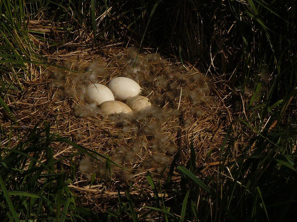 Hus divá (lat. Anser anser) - hniezdo s vajíčkami