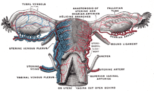 Cardinal ligament - Vessels of the uterus and its appendages, rear view.  (Cardinal ligament not visible, but location can be inferred from position of uterine artery and uterine vein.)