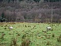 Grazing sheep - geograph.org.uk - 646702.jpg