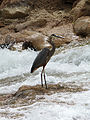 Great Blue Heron (5927638656).jpg