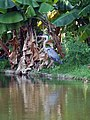 Great Blue Heron Mazatlán - panoramio.jpg