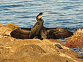 Great Cormorants (15732155163).jpg