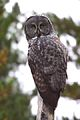 Great Gray Owl (Strix nebulosa) (6182926224).jpg