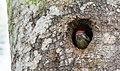 Great Spotted Woodpecker Image.jpg