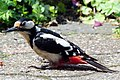 Great Woodpecker at the terrace, rather extreme, but lovely - panoramio.jpg