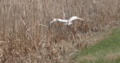 Great egret at Whitewater Lake.png