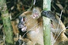 Caractéristiques du Singe dans SINGE 220px-Greater_Bamboo_lemur