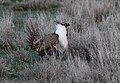 Greater Sage-Grouse (Centrocercus urophasianus) (8733117924).jpg