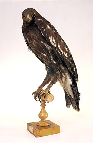 Greater spotted eagle - Museum specimen of juvenile